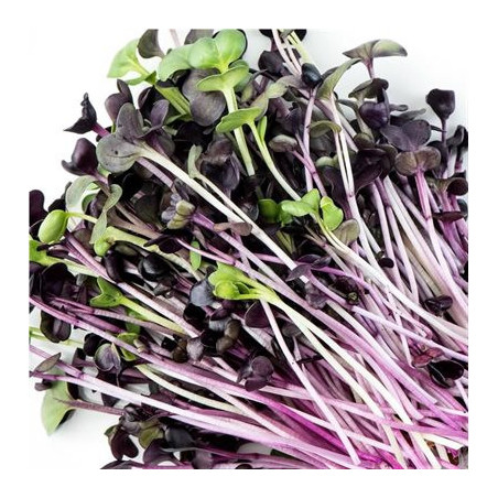 GEO sprouted seeds Red radish